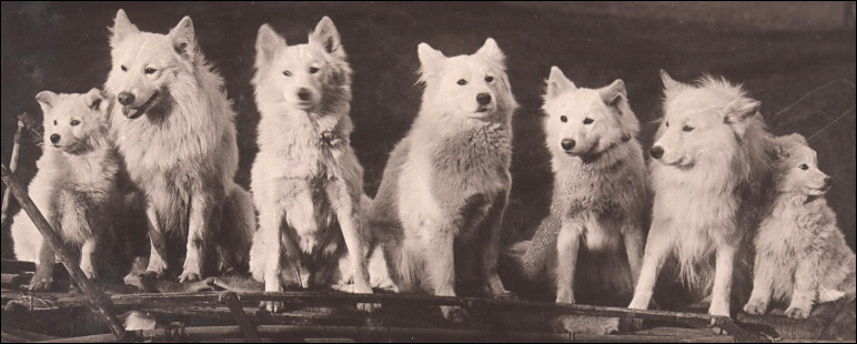 early_samoyeds